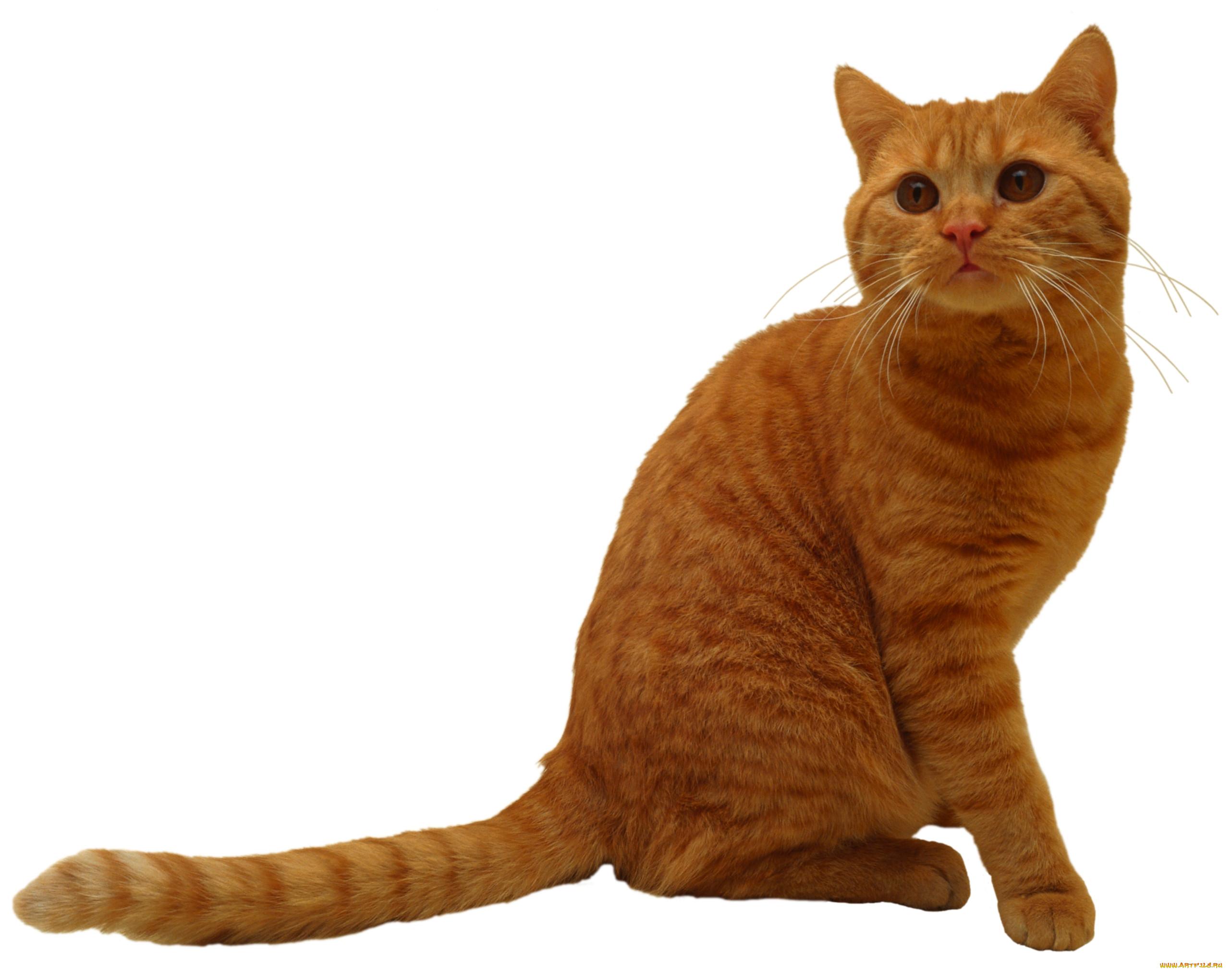 фото кота на прозрачном фоне надо